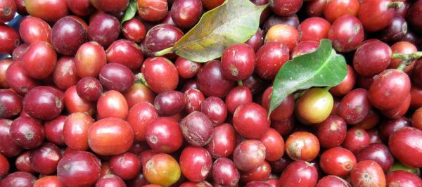 Did you know coffee is a fruit?